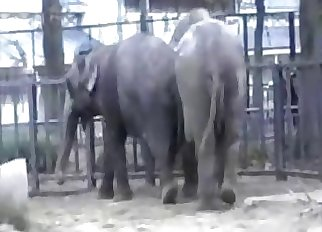Sexy elephants are enjoying bestiality sex action
